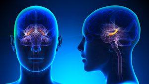 kadın beyin anatomisi (hippokampüs)