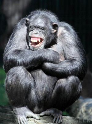 Şempanze-gülme-300x404